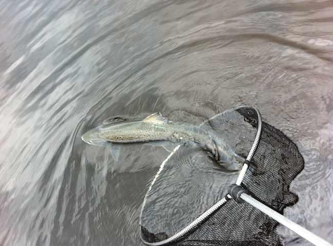 Relesasing Scottish Salmon