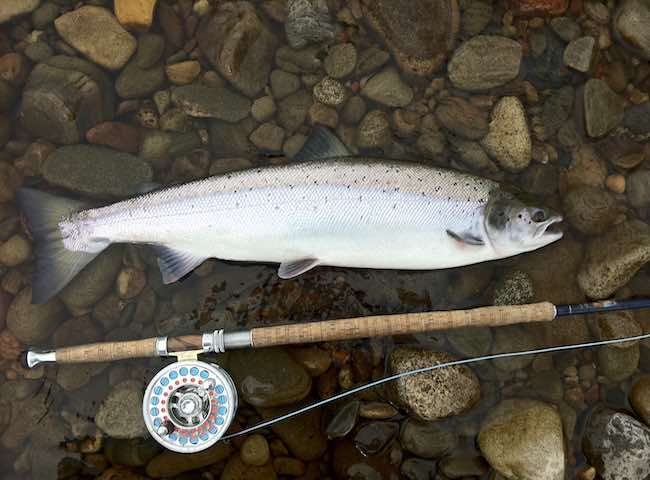 A Perfect Fly Caught River Tay Salmon