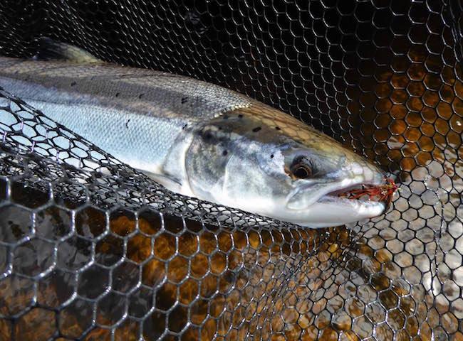 Capturing An Atlantic Salmon