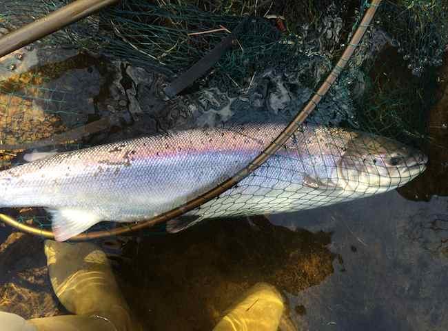 Landing A River Tay Spring Salmon