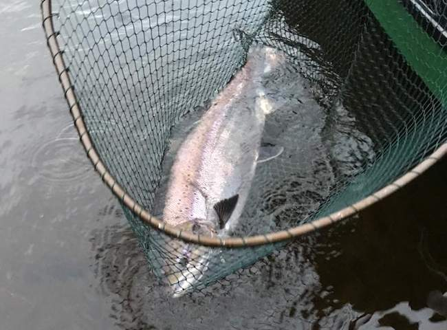 January 2020 River Tay Salmon