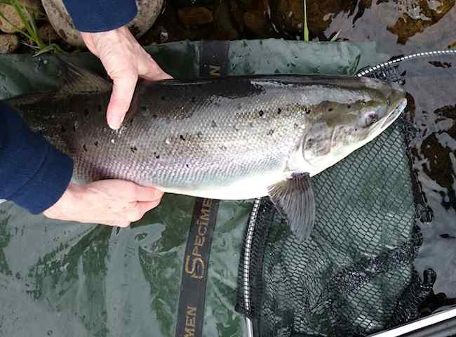 Perfect River Tay Spring Salmon