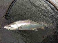Catching Scottish Salmon