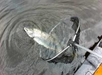 Releasing Scottish Salmon