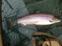River Tummel Salmon