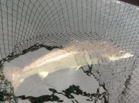 Landing A Salmon