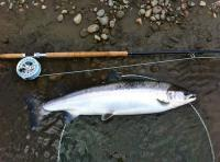 A Perfect River Tay Salmon