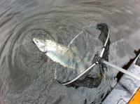 Releasing Atlantic Salmon
