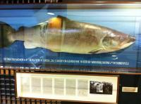 Huge River Tay Salmon